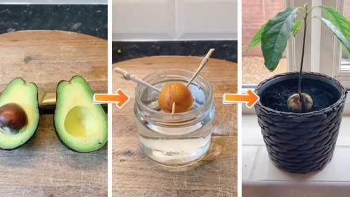 Авокадо з кісточки: як посадити й виростити популярний фрукт у домашніх умовах